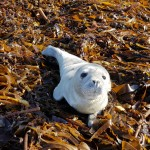 Seal Pup Rescue (Updated)