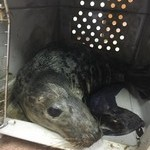 Grainville school staff member helps to rescue seal pups